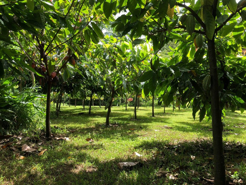 21D cacao orchard with sun dappled light
