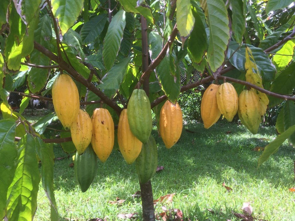 21D cacao tree