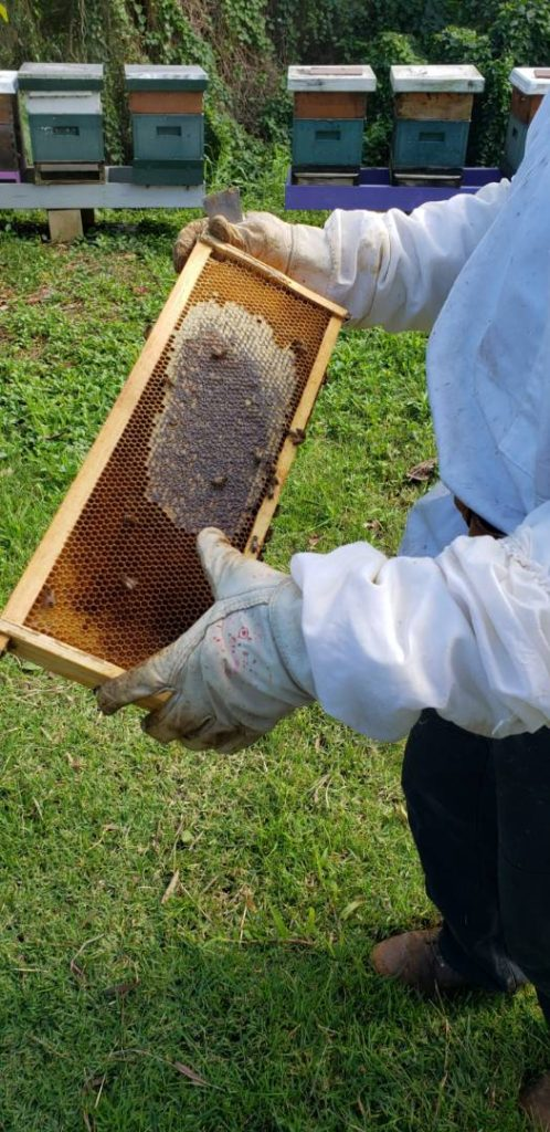 honey harvest hive frame with honey and comb
