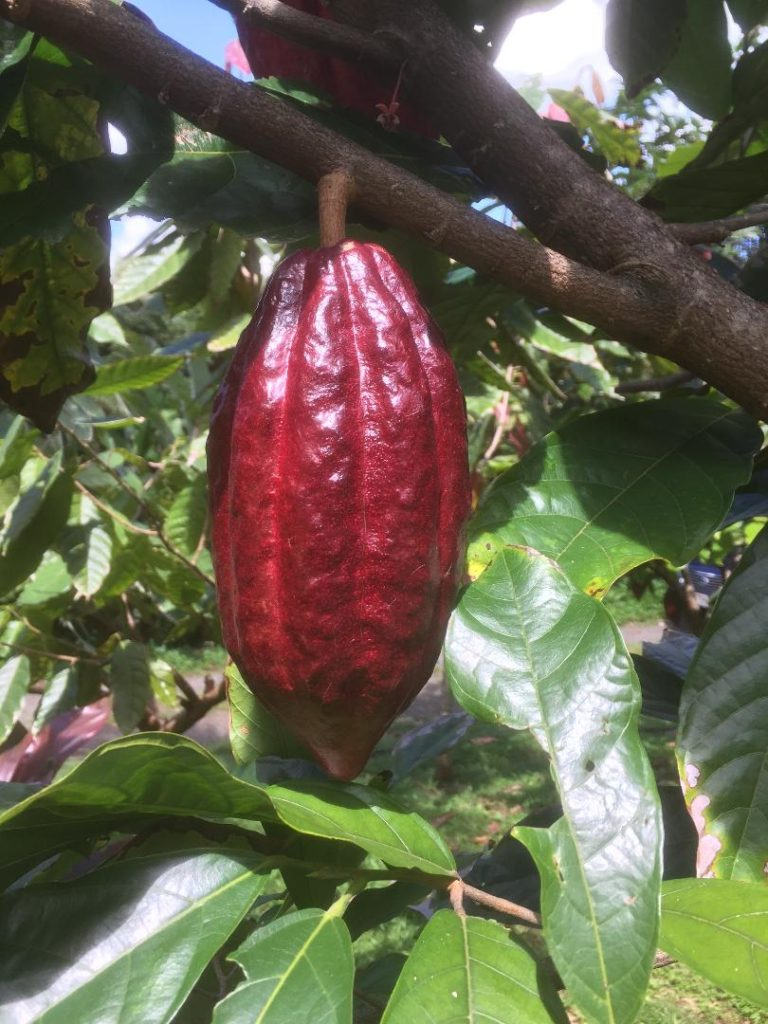 purple cacao pod ready for harvest, 21 Degrees Estate orchard