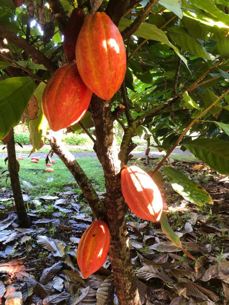saffron cacao pods ready for harvest in 21 Degrees Estate orchard