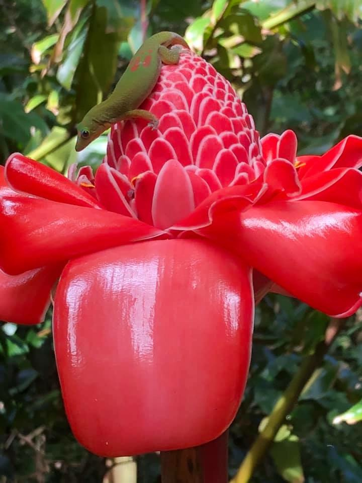 torch ginger with gecko