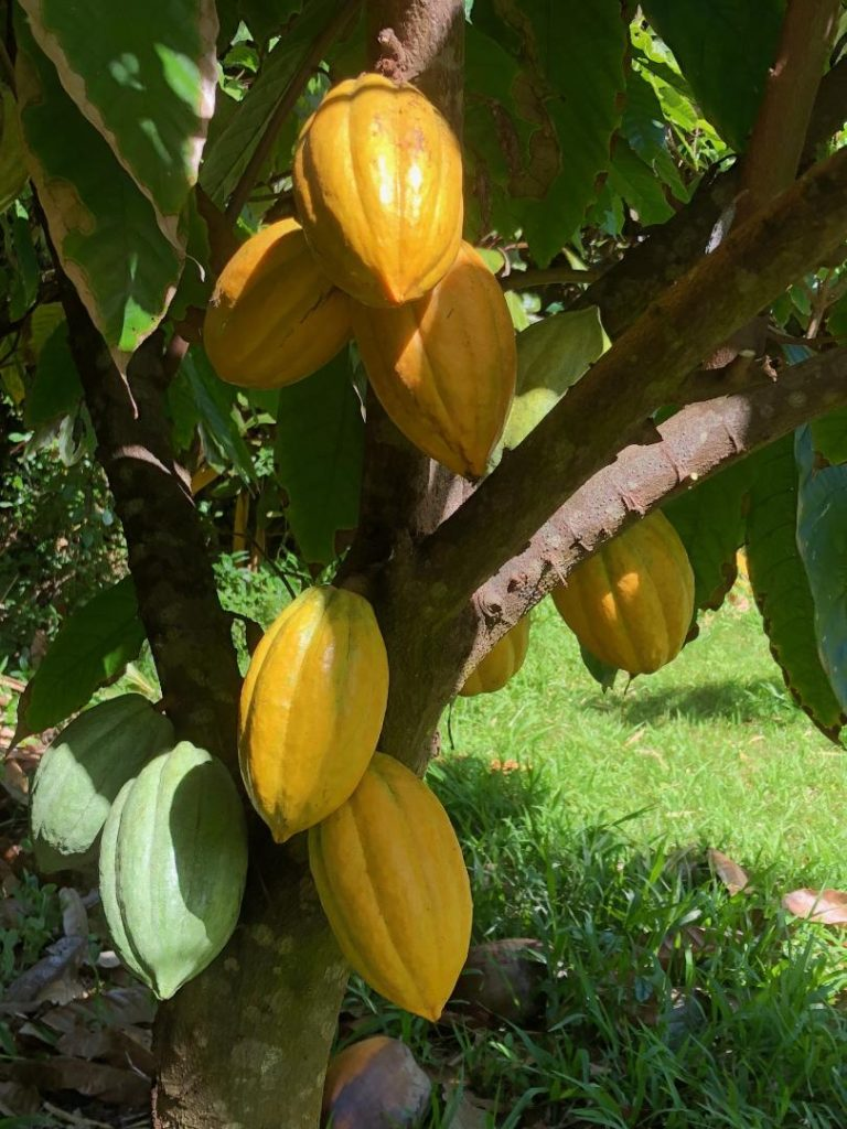 yellow cacao pods ready for harvest in 21 Degrees Estate orchard